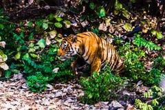 名为Ustaad的皇家孟加拉老虎 免版税图库摄影