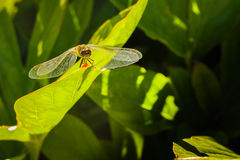 今后取暖的蜻蜓在阳光下,面孔和翼 免版税库存照片