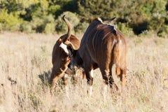 以后嗅到您-更加伟大的Kudu -非洲羚羊类弯角羚类 库存图片