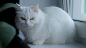 后坐白色的秋天猫 股票视频