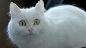 后坐白色的秋天猫 影视素材
