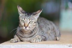 今后看照相机的猫的特写镜头图象 图库摄影