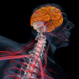 后脑,脑子透视 向量例证