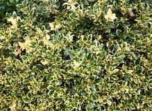 后花园树篱行植物树独特的背景纹理  免版税库存图片