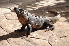 后裔恐龙半岛尤加坦 库存图片