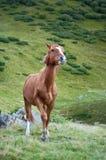 今后走布朗的马 免版税库存图片