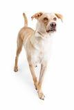 今后走拉布拉多猎犬的狗 图库摄影
