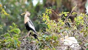 后边母美洲蛇鸟&两只小鸡 免版税库存照片
