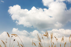 后边麦子耳朵和云彩 免版税图库摄影