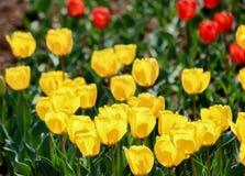 后边黄色坎德拉Fosteriana郁金香和红色郁金香,昭和Kinen KoenShowa纪念公园,立川市,东京,日本在春天 库存照片
