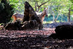 后边索马里野驴母亲和马驹 免版税库存图片