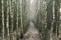 后退入距离的桦树树丛 库存照片
