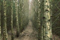 后退入距离的桦树树丛 免版税库存照片