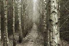 后退入距离的桦树树丛 免版税图库摄影