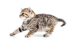 后退的小猫退缩或隔绝在白色 库存照片