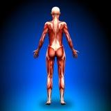 后部看法-女性解剖学肌肉 库存照片