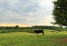 后院奶牛场 库存照片