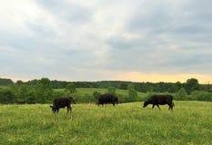后院奶牛场 免版税库存照片