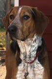 后院猎犬步行者 免版税库存图片