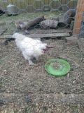 后院鸡 库存图片
