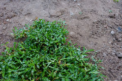 后院,种植一棵新的草皮草的院子劳动 库存照片