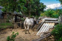 后院水牛 免版税库存照片