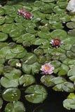 后院koi池塘 库存照片