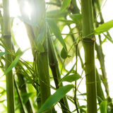 竹树丛 免版税图库摄影