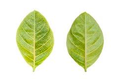 后面和前面在白色背景隔绝的黄绿色叶子 免版税库存照片