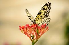 后面在一朵红色花的被点燃的蝴蝶 免版税库存图片