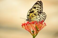 后面在一朵红色花的被点燃的蝴蝶 图库摄影