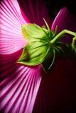 从后面射击的紫色木槿。 免版税库存照片