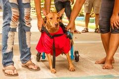后面有腿的残疾狗犹豫在接受狗轮椅以后开始他的头次运行 图库摄影