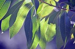 后面澳大利亚伍迪梨的被点燃的叶子 免版税图库摄影
