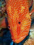 后面珊瑚的石斑鱼 库存照片