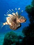 后面珊瑚的石斑鱼 免版税库存图片
