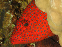 后面珊瑚的石斑鱼 库存图片