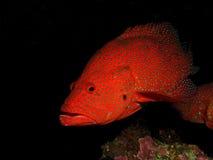 后面珊瑚的石斑鱼 免版税图库摄影