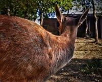 从后面的橙色鹿 免版税图库摄影