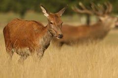 后面的雷德迪尔& x28; 鹿elaphus& x29;一只咆哮雄鹿在背景中 免版税库存照片