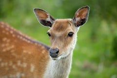 后面的鹿 免版税库存图片