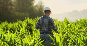 后面看法:有一台片剂计算机的一位现代农夫在他的接触在领域的手上玉米叶子 股票录像