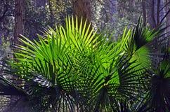 后面被点燃的扇形圆白菜树棕榈叶 免版税图库摄影