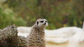 后面观点的动物meerkat海岛猫鼬类suricatta立场哨兵 影视素材