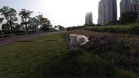 后面观点的在步行的快乐的狗 遛她的在皮带的女孩狗 股票视频