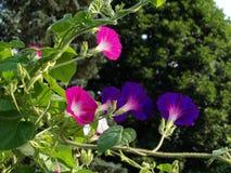 后面观点的桃红色&紫色牵牛花进展 免版税库存照片