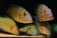 吐沙子的亚马逊热带鱼 库存照片