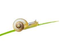 向上上升小的蜗牛 免版税库存照片