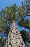 向上查找杉木radiata结构树 免版税库存照片
