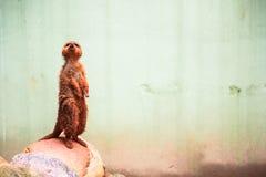 向上看一好奇meerkat或suricate海岛猫鼬类的suricatta 免版税库存照片